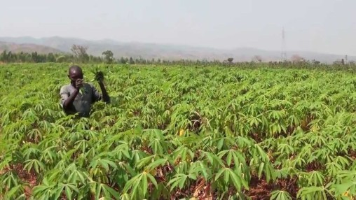 Cassava growers acquire 6,000 hectares for cluster farming